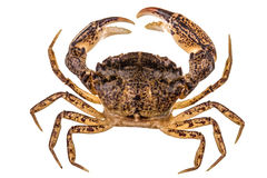 Crab, isolated on white background Royalty Free Stock Photos