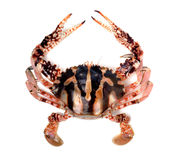 Crab. Isolated on white background Royalty Free Stock Photos