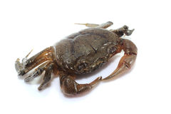 Crab isolated on white background Royalty Free Stock Images