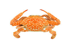 Crab isolated on a white background clipping paths Stock Images