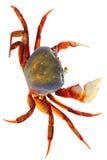 Rainbow Crab Royalty Free Stock Photo