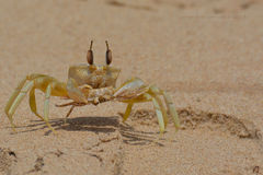 Crab King Royalty Free Stock Photography