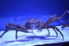 Crab. Large crab in the aquarium stock images