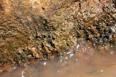 Crab larvae Stock Photos