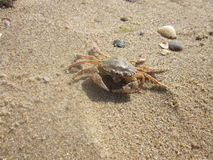 Crab. Last year at sea Stock Photography