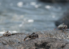 Crab on the lava rocks in hawaii Stock Image