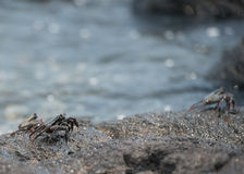 Crab on the lava rocks in hawaii Stock Photography