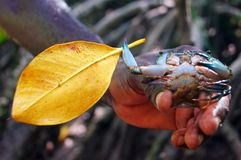 Crab with a leaf in the clap. In the hand of afroamerican Stock Photography