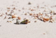 Crab in a light green shell. Shellfish on the beach hides in a s Royalty Free Stock Photo