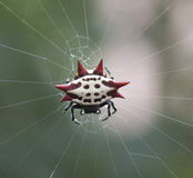 Crab-Like Spiny Orb Weaver Royalty Free Stock Image