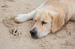 Crab little fun with the dog Stock Image