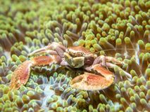 A crab that lives with an anemone. Philippines royalty free stock photo