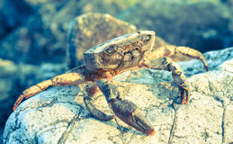 Crab. A crab lying on a rock in the sun Royalty Free Stock Image