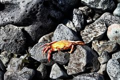 Crab. Lying on the stones Royalty Free Stock Photography