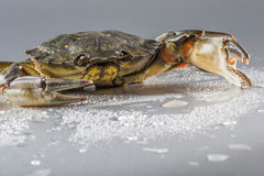 Crab, macro, crustacean, claw, seafood, food, fresh, studio. Closeup of one delicious green crab with open claw. Modern still life with copy space. Shooting Royalty Free Stock Photos