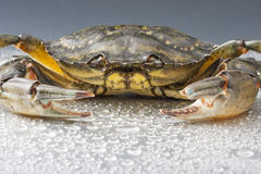 Crab, macro, crustacean, claw, seafood, food, fresh, studio. Closeup of one delicious green crab on wet polish silver background in studio. Modern still life Royalty Free Stock Photography