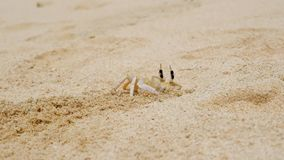 Crab making a hole in sand stock video footage