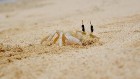 Crab making a hole in sand stock video