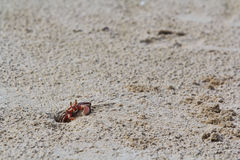 Crab making sand balls royalty free stock photo