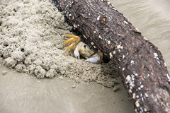 Crab - Maria farinha Royalty Free Stock Photo