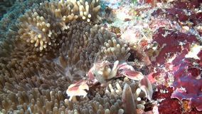 Crab is masked in anemone actinia on clean clear seabed underwater of Maldives. stock video