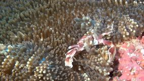 Crab is masked in anemone in search of food on clean clear seabed underwater. stock footage