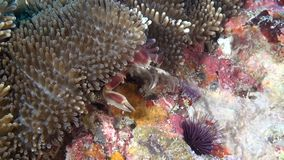 Crab is masked in anemone in search of food on clean clear seabed underwater. stock video footage