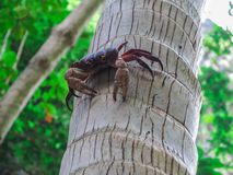 Crab in Maya Bay,Phi Phi Lay Royalty Free Stock Photos