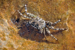 Crab from the Mediterranean sea. Royalty Free Stock Photo