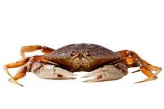 Crab (Metacarcinus magister) stock photography