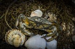 Crab nas conchas do mar no fundo sujo da areia fotografia de stock