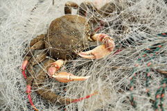 A Crab in The Net Stock Photo