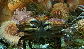 Crab in ocean Royalty Free Stock Photos