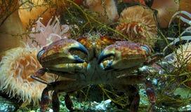 Crab in ocean Royalty Free Stock Photos