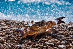 Crab in ocean splashes Royalty Free Stock Image