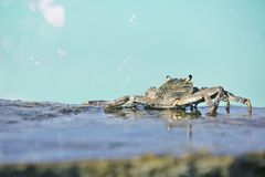Crab in the ocean tide royalty free stock photos