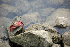 Free Crab On A Rock Royalty Free Stock Photo - 3871945