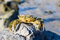 Free Crab On A Rock Royalty Free Stock Photos - 3982918