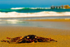 Free Crab On Beach Stock Image - 13732501