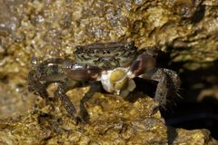 Crab On Rock Stock Photography