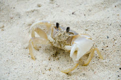 Free Crab On The Beach Royalty Free Stock Image - 24313616