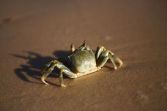 Free Crab On The Beach Royalty Free Stock Photos - 3969748