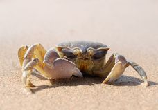 Crab with one claw Royalty Free Stock Image