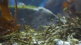 Crab with one claw at the bottom of the aquarium. Jaw grinds food stock video