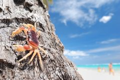 Crab on palm Royalty Free Stock Photo