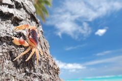 Crab on palm Royalty Free Stock Images