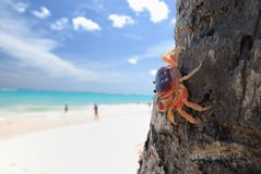 Crab on palm Stock Images