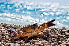 Crab on pebbles Royalty Free Stock Photography