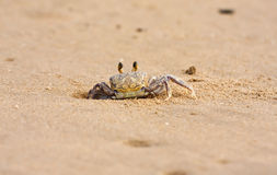 Crab peeping out of hole in sand on beach Royalty Free Stock Images