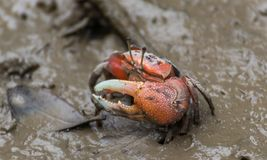Crab. Picture of male red crab Royalty Free Stock Photo